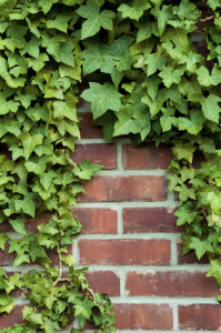 Ivy is one of the organisms that seek out stress points. If it grows luxuriantly, it is a sure indication of radiation exposure.