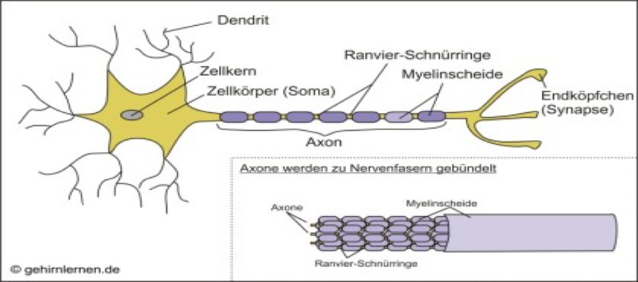 scientifically proven: Model of a nerve with nodes of Ranvier